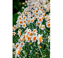 Countless Spring daffodils  Photographic Print