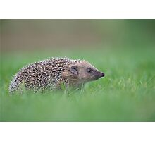 Hedgehog Photographic Print