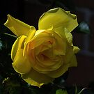 Yellow rose Leith Park Victoria 20161109 7725  by Fred Mitchell