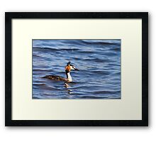 Great crested grebe  (Podiceps cristatus)   Framed Print