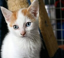 White & Ginger kitten by GreyFeatherPhot
