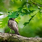 American Robin by Christina Rollo
