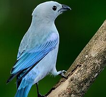 blue gray tanager by Susan Ellison