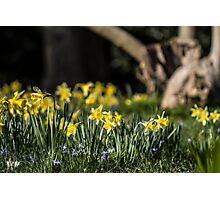 Pretty Daffodil Landscape Photographic Print