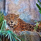 Jaguar by Savannah Gibbs