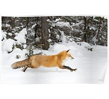 Red Fox on the run - Algonquin Park Poster