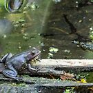 Purple Florida Frog by barkeypf