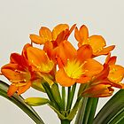 Orange Clivia Lily Blossoms by Sandra Foster