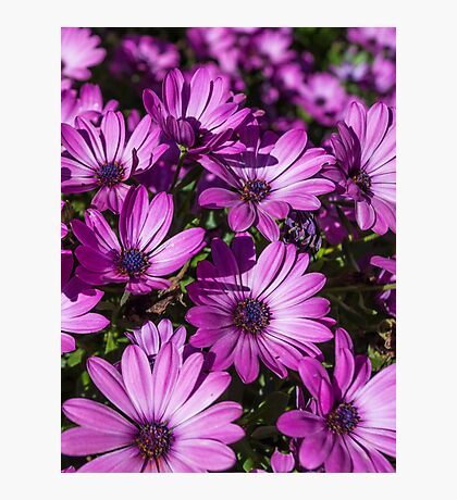 Purple African Daisies Photographic Print