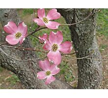 Dogwood Blooms of Tennessee Photographic Print