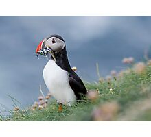 Atlantic puffin (Fratercula arctica) Photographic Print
