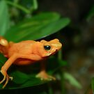 Golden Mantella  by Alyce Taylor