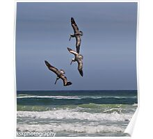 Three Pelicans diving for the same fish Poster