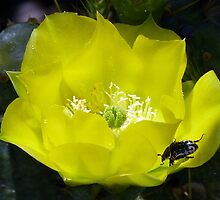 Yellow Cactus Flower.•*¨`*• by Penny Odom