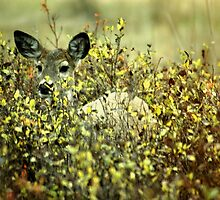Deer in brush by shadownlite