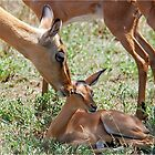 LOVE YOU BABY -  IMPALA  - Aepyceros melampus petersi by Magaret Meintjes
