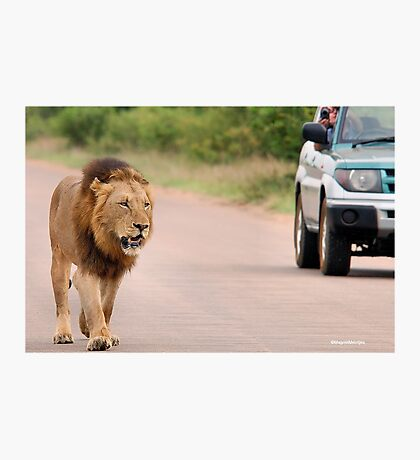 THE ULTIMATE EXPERIENCE IN KRUGER - THE LION - Panthera leo  Photographic Print