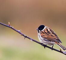 Reed Bunting by chris2766