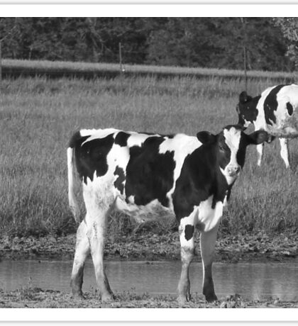 Black and White  pasture Sticker