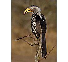 Yellow Billed Hornbill Photographic Print