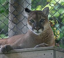 Cougar by Jinx13