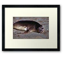 Southern Elephant Seal Pup, Macquarie Island  Framed Print