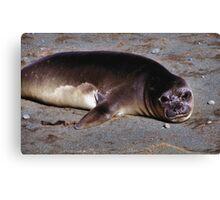 Southern Elephant Seal Pup, Macquarie Island  Canvas Print