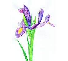 Iris in Watercolour Pencil Photographic Print