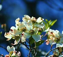 Dogwood in Bloom by Gilda Axelrod
