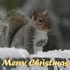 Merry Christmas - Squirrel by Peter Barrett