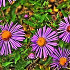 Prairie Asters, South Elgin Illinois by Roger Passman