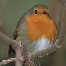 Merry Christmas - Robin 02 by Peter Barrett