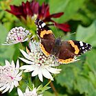 Red Admiral on White Astrantia by AnnDixon