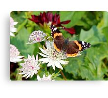 Red Admiral on White Astrantia Canvas Print