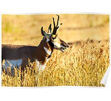 Pronghorn Antelope at Lamar Valley Poster