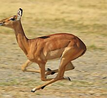 Impala - Speed and Muscles  by LivingWild