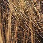 marram grass, st cyrus by codaimages
