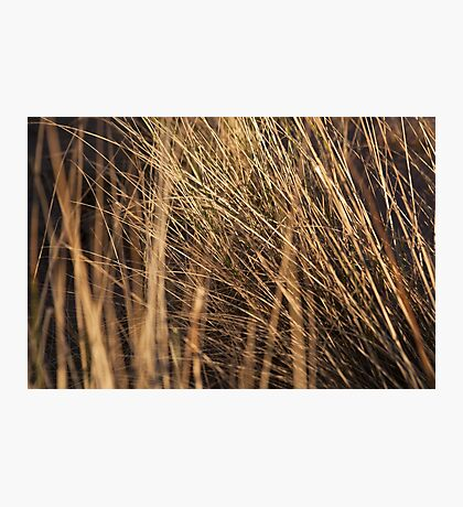 marram grass, st cyrus Photographic Print