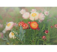 Paper Daisies Photographic Print