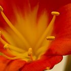 Orange Clivia Lily - Macro by Sandra Foster