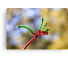 Red and Green Kangaroo Paw, Kings Park Canvas Print