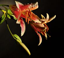 Still life Lily by pdsfotoart