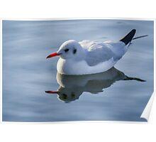 Slender-billed gull on the lake  Poster