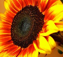 Rodeo Sunflower by freshmemories