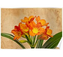 Orange Clivia Lily Blossoms - Textured  Poster