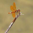 Eastern Amberwing by Bob Hardy