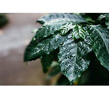Coffee Leaves Photographic Print