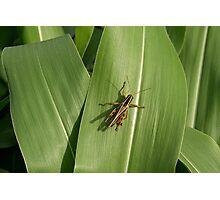 Grasshopper on corn leaf Photographic Print