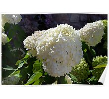 Beautiful white large round flower Poster