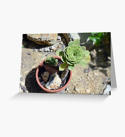 Beautiful round succulent in a flower pot. Greeting Card